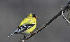 American Goldfinch (hd.niel) Tags: americangoldfinch finch birds seeds vegetarian photography wildlife photos ontario breedingmale