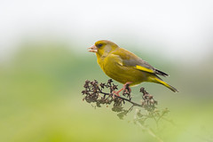 Greenfinch.... (klythawk) Tags: greenfinch carduelischloris bird finch wildlife nature spring sunlight green yellow brown orange grey black white olympus omd em1mkll 100400mm panasonic leica attenboroughnaturereserve wildlifetrust nottingham klythawk