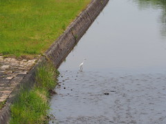 Great egret (Ardea alba, ダイサギ) (Greg Peterson in Japan) Tags: shiga wildlife yasu japan birds egretsandherons ダイサギ 滋賀県 野鳥 野洲市 shigaprefecture