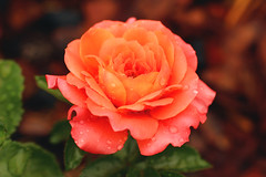 My favourite rose (Julia_Kul) Tags: orange rose roses background garden flower nature floral color beautiful bloom blossom beauty green closeup plant love red petal fresh macro isolated close romance leaf flora valentine bright summer natural colorful single celebration pink spring gardening