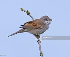 Whitethroat (Gary Chalker, Thanks for over 4,000,000. views) Tags: whitethroat bird warbler pentax pentaxk3ii k3ii pentaxfa600mmf4edif fa600mmf4edif fa600mm 600mm
