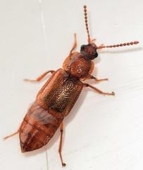 4.7 mm ocellate rove beetle (ophis) Tags: coleoptera polyphaga staphyliniformia staphylinoidea staphylinidae omaliinae anthophagini acidota acidotasubcarinata ocellaterovebeetle rovebeetle