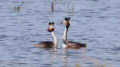 7D2_6716_DPP (SF_HDV) Tags: canon7dmarkii canon7dmark2 7dmarkii 7dmark2 7dm2 spain lagoon laguna bird fuentedepiedra lagunafuentedepiedra waterbird grebe greatcrestedgrebe