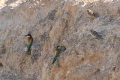 7D2_4389_Euro_Bee-Eaters_DPP_Comp2048 (SF_HDV) Tags: canon7dmarkii canon7dmark2 7dmarkii 7dmark2 7dm2 spain lagoon laguna bird fuentedepiedra lagunafuentedepiedra beeeater europeanbeeeater sparrow rocksparrow