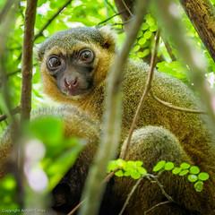 Goden Bamboo Lemur (Hapalemur aureus) (vfr800roja) Tags: goldenbamboolemur madagascar ranomafana hapalemuraureus