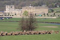 Chatsworth House (davva73) Tags: chatsworthhouse deer landscape peakdistrict canon canoneos uk greatbritain travel