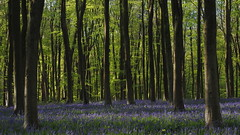 """Little Blue Devils (Say """"Wasabi"""") Tags: spring flowers bluebells wildlife olympus m43 micheldever hampshire winchester beech trees woods green sunrise nature landscape blue"""