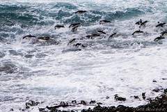 It's The Landing That Hurts! (Ed.Stockard) Tags: rockhopper penguin penguins swimming flying surf ocean newisland falklandislands beach waves