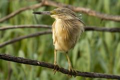 DSC_9840 (Jesus DTT) Tags: garcillacangrejera ardeolaralloides embalse vicario río guadiana aves peralvillo