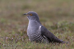 Colin the Cuckoo (Blue Dog Images) Tags: cuckoo thursleycommon surrey canon colin