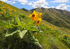 Arrowleaf Balsamroot - Asotin County - Washington State (Electric Crayon) Tags: pacificnorthwest washingtonstate asotincounty josephcreek greengulch usa unitedstates america arrowleafbalsamroot balsamroot flowers plant trail hiking outdoors rural electriccrayon patrickmcmanus nature landscape