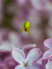 Araniella in lilac (markhortonphotography) Tags: web nature flower araniella insect surrey wildlife purple arachnid predator cucumbergreen surreyheath lilac green spider macro male invertebrate