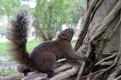Squirrel (theq629) Tags: squirrel animal taipei taiwan daan daanforestpark