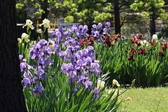 Love iris season (Sam0hsong) Tags: iris