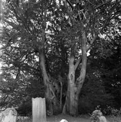 Hollow Shell (4foot2) Tags: allsaintschurchwarlingham allsaintschurch warlingham church churchyard graves gravestone graveyard yew taxusbaccata taxus tree hollow analogue film filmphotography 120film mediumformat kiev kiev88cm 88cm киев88cm ukrainiancamera flektogon flektogon50mm wideangle bw blackandwhite monochrome mono ilford ilfordfp4plus fp4plus standdevelop rodinal 2019 fourfoottwo 4foot2 4foot2flickr 4foot2photostream