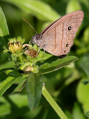 Hermes Satyr (peterkelly) Tags: digital canon 6d northamerica mexico gadventures mayandiscovery chiapas palenque palenquenationalpark butterfly flower hermessatyr hermeutypchiahermes