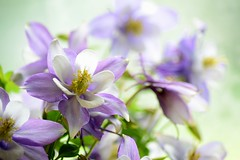 ...whisper of color... (carbumba) Tags: nikon closeup micro petals nature soft delicate violet flower