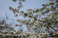 Hard Bloom (Coquine!) Tags: christianleyk london unitedkingdom greatbritain england bloom blossom tree baum white weiss cherry kirschblüte frühling spring primavera bokeh dof batterseapark park wandsworth