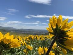 Spectacular Wildflower Display (rooftop65) Tags: arrowleafbalsamroot