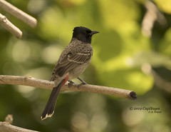 2019 05-03 ZooMiami Red Vented Bulbul DSC04051 (Caphayes) Tags: bulbul bird zoomiami aviary wingoverasia redvented