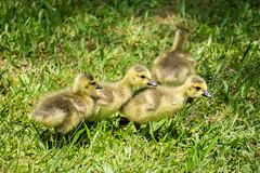 Goslings (agasfer) Tags: 2019 southcarolina sony a6000 sonye456355210oss birds greenville furman swanlake