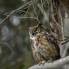 The watcher (Marc Briggs) Tags: dsc4865aw owl greathornedowl bubovirginianus bubo raptor bird animal avian birdofprey featheredtufts plumicorns