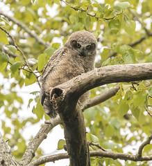 Great Horned Owl-6500 (Geoffrey Shuen Photography) Tags: greathornedowl owl birdofprey