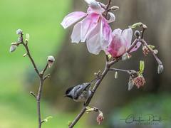 Black-capped Chickadee (ChristineDarnell) Tags: bird chickadee blackcappedchickadee songbird michigan westmichigan backyard