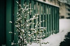 Iisalmi (Tuomo Lindfors) Tags: iisalmi finland suomi takatalvi lumi snow aita fence pensas bush shrub myiisalmi