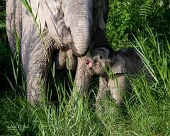 Pygmy Elephant Calf (iamfisheye) Tags: 300mm kinabatanganriver nikon f4 d500 borneanpygmyelephant elephant pf borneoapril2018 animal