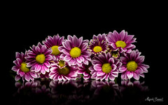 Bouquet (Magda Banach) Tags: canon canon80d sigma150mmf28apomacrodghsm blackbackground bouquet buds colors daisies flora flower macro nature petalsofflowers pink plants purple reflection yellow