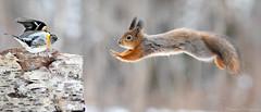 Melkein liito-orava-0220 (Markku Teiramaa) Tags: capinsàmec dakvækerfinke debergfink espinzónreal fijärripeippo frpinsondunord inbrambling itpeppola nlkeep nobjørkefink pttentilhãomontês svbergfink brambling fringillamontifringilla kuusamonaturephotography lämsänkylä orava sciurusvulgaris ekorn kuusamohides kuusamonpiilokojut ngc pikkulintu pikkulinturuokinta redsquirrel
