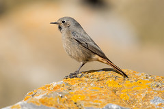 Female Black Redstart (Steve Moore-Vale) Tags: blackredstart phoenicurusochruros winter perched avian birds nature wildlife animals somerset bokeh canon canon100400ii