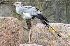 Secretarisvogel (Secretary bird) (Rini Hemelop) Tags: natuur vogels roofvogels secretarisvogel gier birdofprey