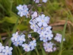 Vergissmeinnicht Blüten. Forget me not  blossoms. (st.klaus612) Tags: vergissmeinnicht forgetmenot blume flower blüte blossom blau blue violett pink pflanze plant frühling spring nature natur makro macro