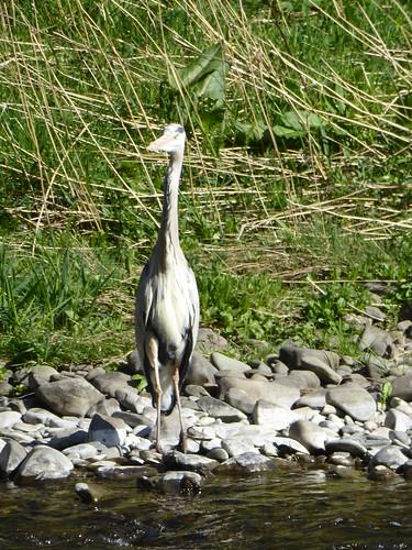 Heron on the Bank of the Tweed