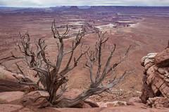 Green River, Dead Tree (Oleg S .) Tags: rock usa canyonlands canyon deadwood tree utah nature