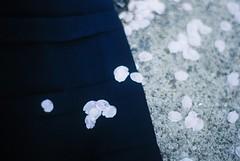 桜 (alinak4) Tags: film filmphoto filmphotography filmcamera 35mm 35mmphoto 35mmfilm 35mmphotography 35мм analoguecamera analogue kodak kodakultramax400 ultramax400 analoguephotography ultramax contaxaria contax aria carlzeiss carlzeissplanar14 carlzeissplanar planar nature natureaddict closeup depthoffield dof sakura cherryblossom petals flowers april memory melancholy korea southkorea seoul naturelover contrast pastel フィルム写真 フィルムカメラ フィルム 桜 さくら 韓国 春 4月 コンタックス アリア пленка аналоговаяфотография сакура природа контакс корея 필름 필름감성 필름카메라 필름사진 벚꽃 콘택스 4월 성남 추억 필카