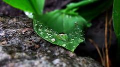 Raindrops on leaf (ALEKSANDR RYBAK) Tags: капли вода влага дождь листик макро крупный план отражение камень прозрачность drops water moisture rain leaf macro closeup reflection rock transparency