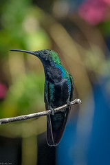 Riot of colors (Fred Roe) Tags: nikond7100 nikonafsnikkor200500mm156eed nature naturephotography national wildlife wildlifephotography animals birds birding birdwatching birdwatcher hummingbird mango blackthroatedmango anthracothoraxnigricollis colors outside flickr bokeh panama