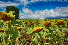 Champ de tournesols à Xirocourt (Livith Muse) Tags: fleur champ tournesol nuage xirocourt lorraine france samsung galaxy s7 smartphone cameraphone dxo dxophotolab hdrefex hdr sunflower field cloud blue yellow green
