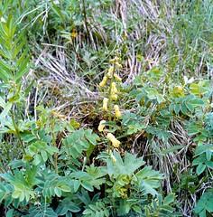Aconitum lycoctonum subsp. vulparia (RCHB.) NYMAN Fuchs-Eisenhut fox wolfsbane (Spiranthes2013) Tags: aconitumlycoctonumsubspvulpariarchbnyman fuchseisenhut foxwolfsbane aconitumvulparia monkshood aconitum eisenhut kfwolfstetter 6x6 6x6dias diaarchiv diascan scan plant pflanze pflanzendias plantae deutschland germany unterfranken lowerfranconia becker bayern bavaria berge mountains aconitumtauricum aconitumtauricumwulfen angiospermen angiosperms eudicots eudicosiden ranunculales ranunculaceae hahnenfusartige hahnenfusgewächse