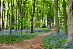 Bluebell Walk (~ **Barbara ** ~) Tags: bluebells wildflowers woodland private northamptonshire cotonmanor uk trees woods path light leaves shady blue scent heavenly countryside canon7dii