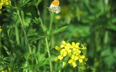 Just in time (orange tip) (Elisa1880) Tags: oranjetipje anthocharis cardamines orange tip vlinder butterfly insect delft abtswoudsebos zuidholland nederland netherlands