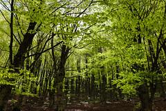 Maulazzo (Cristian Corso) Tags: nebrodi sicily flora green wild landscape canon foresta tree travel