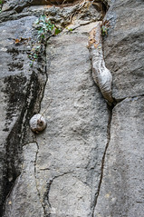 Por entre las grietas (SantiMB.Photos) Tags: 2blog 2tumblr 2ig santjoandelesfonts garrotxa girona invierno winter basalto basalt boscarró rocas rocks raíces roots geo:lat=4221407666 geo:lon=250944557 geotagged santjoanlesfonts cataluna españa