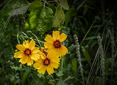 Three in the Wild IMG_0098 (3Bs7Gs) Tags: coreopsislanceolata coreopsis yellowflowers yellowwildflowers tickseed tickseedwildflower