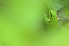 Au coeur du vert - Hyla arborea (Mathurin C) Tags: frog grenouille rainette ronce macro macrodreams macrophotographie herpetologie batracien