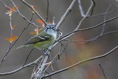 5962 (Eric Wengert Photography) Tags: vireo vireosolitarius bird blueheadedvireo passerine songbird