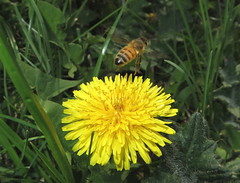 Honey Bee In Flight IMG_2375 (Ted_Roger_Karson) Tags: northernillinois handheldcamera macro honeybee dandelion honeybeeflying northern illinois hand held camera bee flower thisisexcellent flying flowers super lens flowerhead yard friends twop bug hd winter eyes macroscopic pollen animal outdoor insect pollinator plant depth field backyard animals garden canonpowershotsx280hs